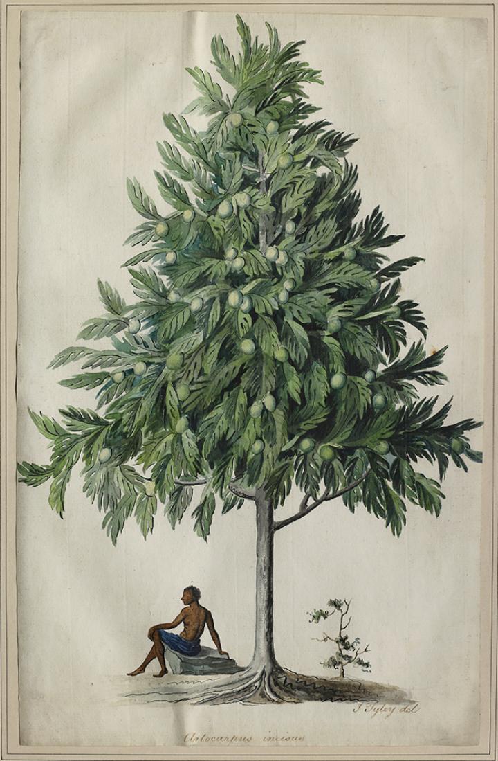 John Tyley's Breadfruit Painting