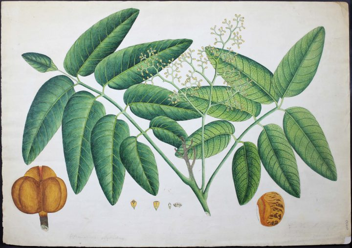 Drawing of Aphanomixis polystachya from Bengal (MS/401D/2/1)