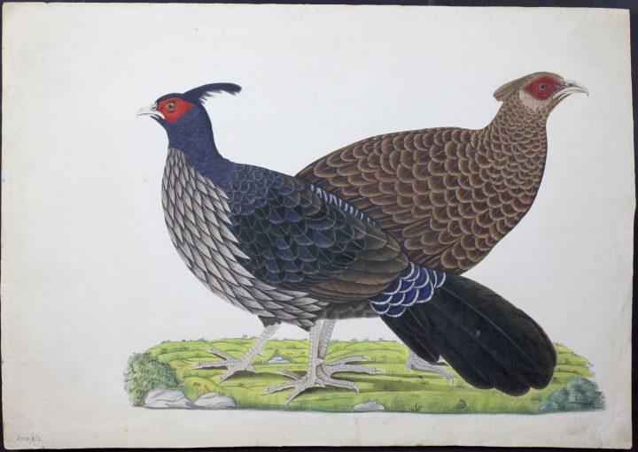Drawing of Lophura leucomelanos (Kalij Pheasant) (MS/401D/3/2)