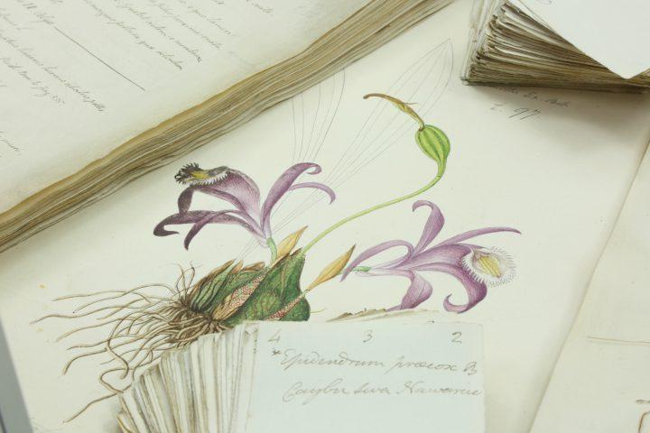Buchanan-Hamilton Epidendrum Landscape