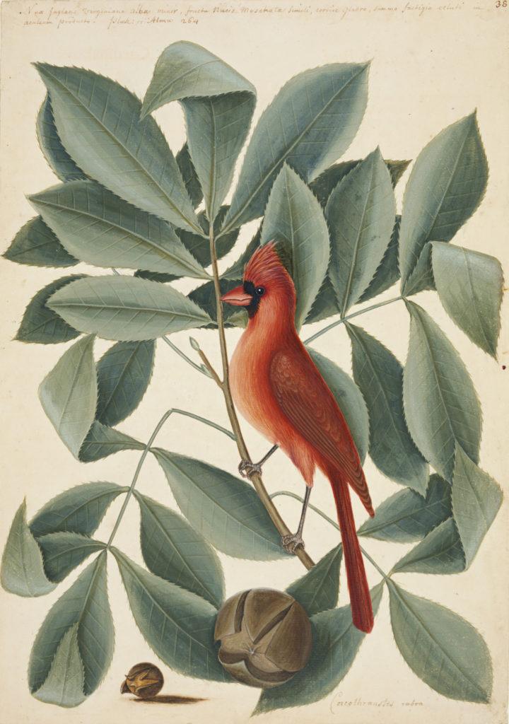 Catesby Red Bird