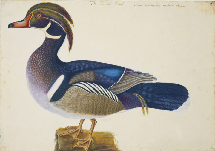 Catesby Summer Duck