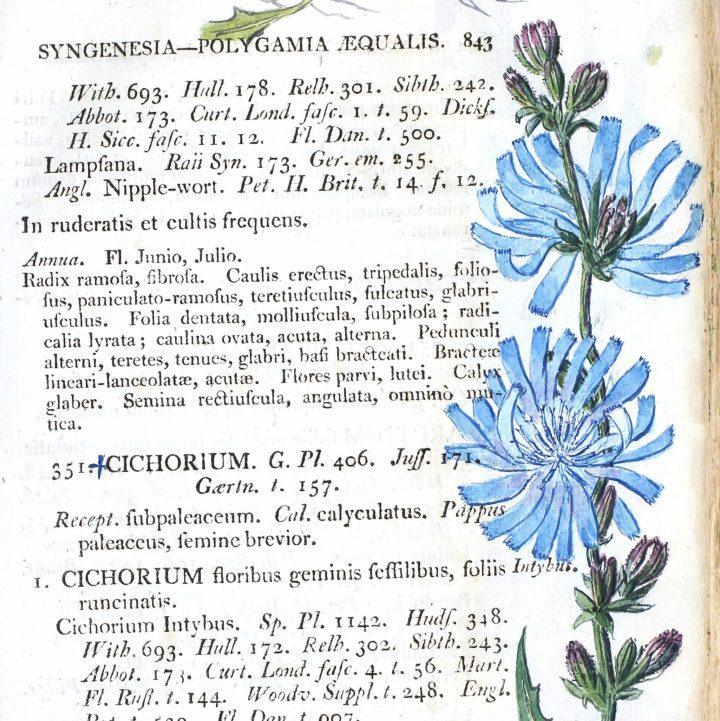 Cichorium