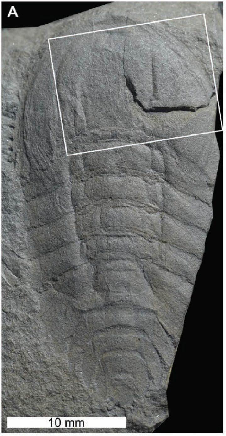 Cyamocephalus loganensis