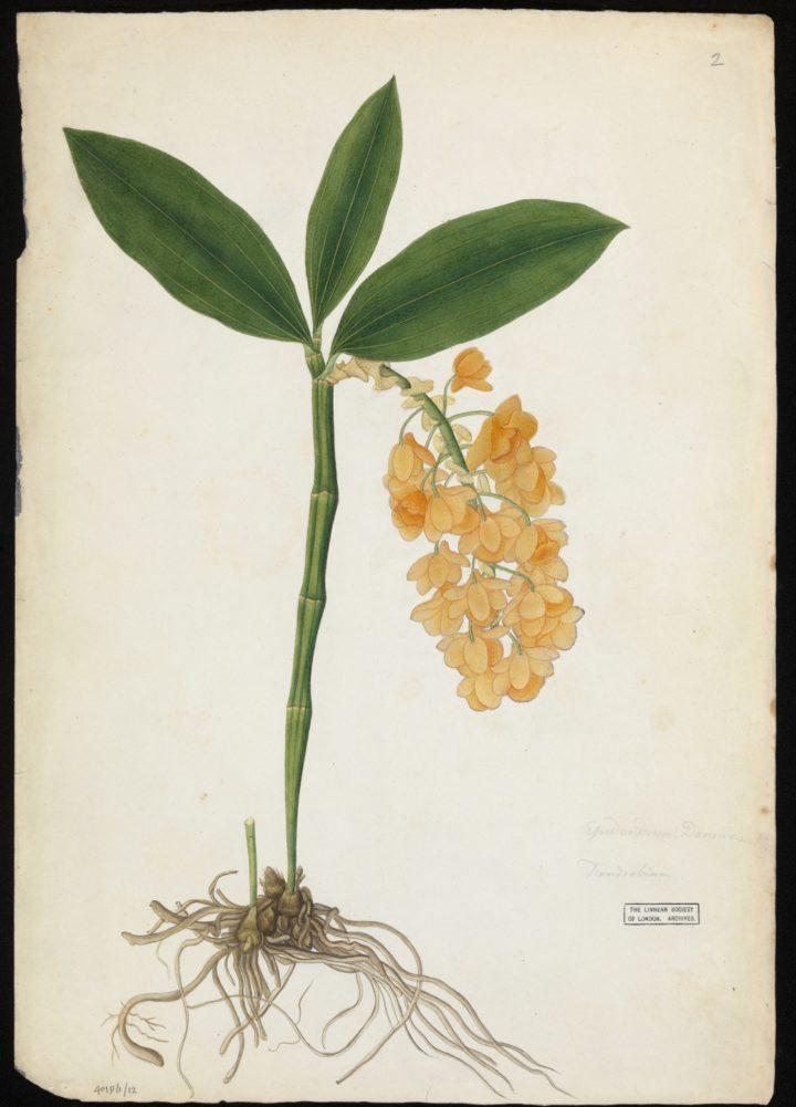 Orchid, Buchanan-Hamilton