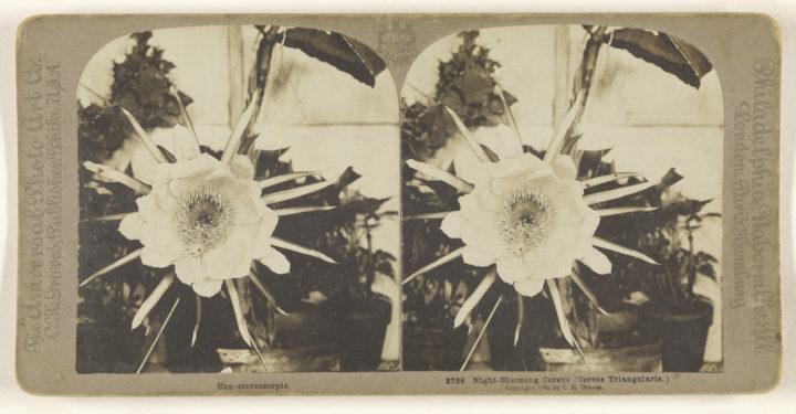 'Night-blooming Cereus (Cereus Triangularis)', 1902, Gelatin silver print 84.XC.979.4081 by Carleton H. Graves