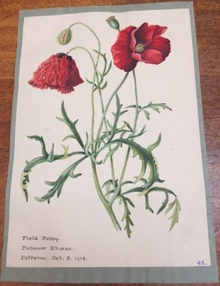 Gwatkin album I - Field poppy