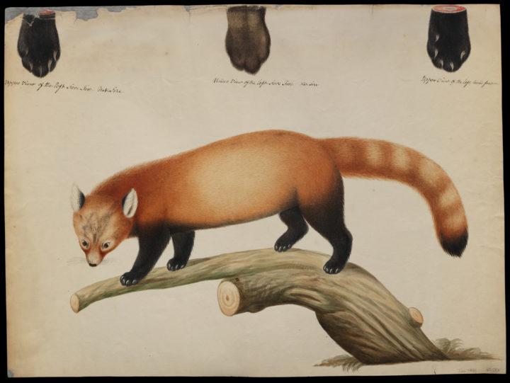 Hardwicke Red Panda