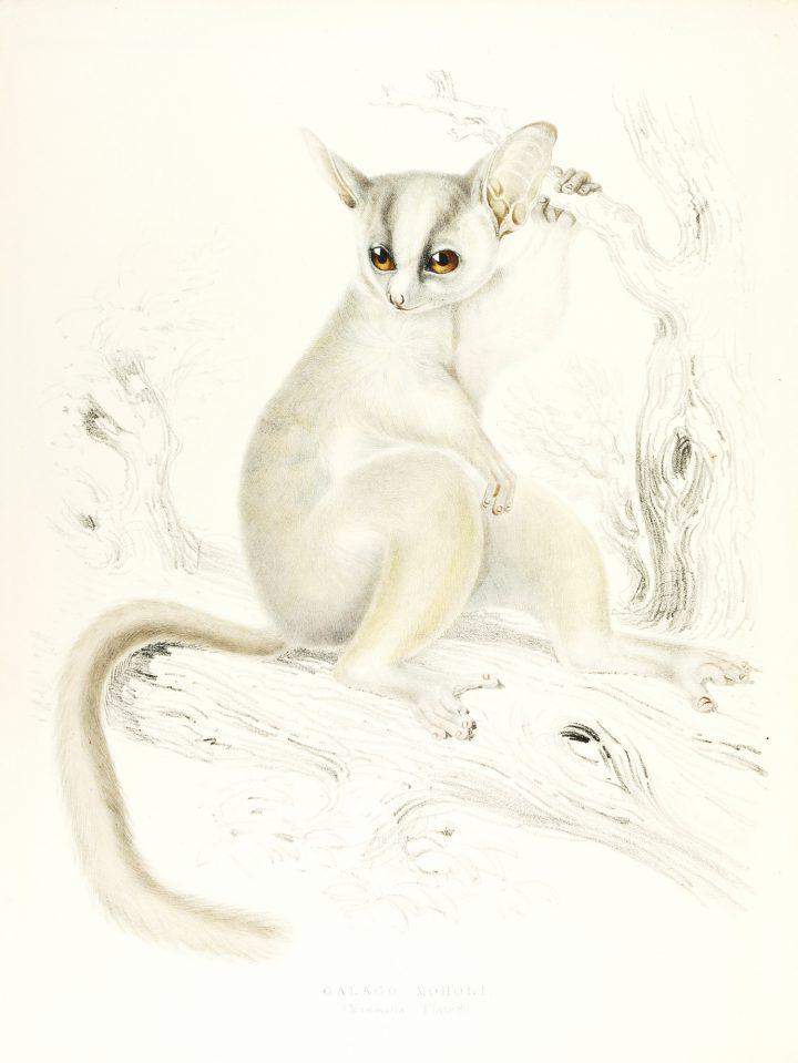 Bush baby Illustration Zoology of South Africa Andrew Smith