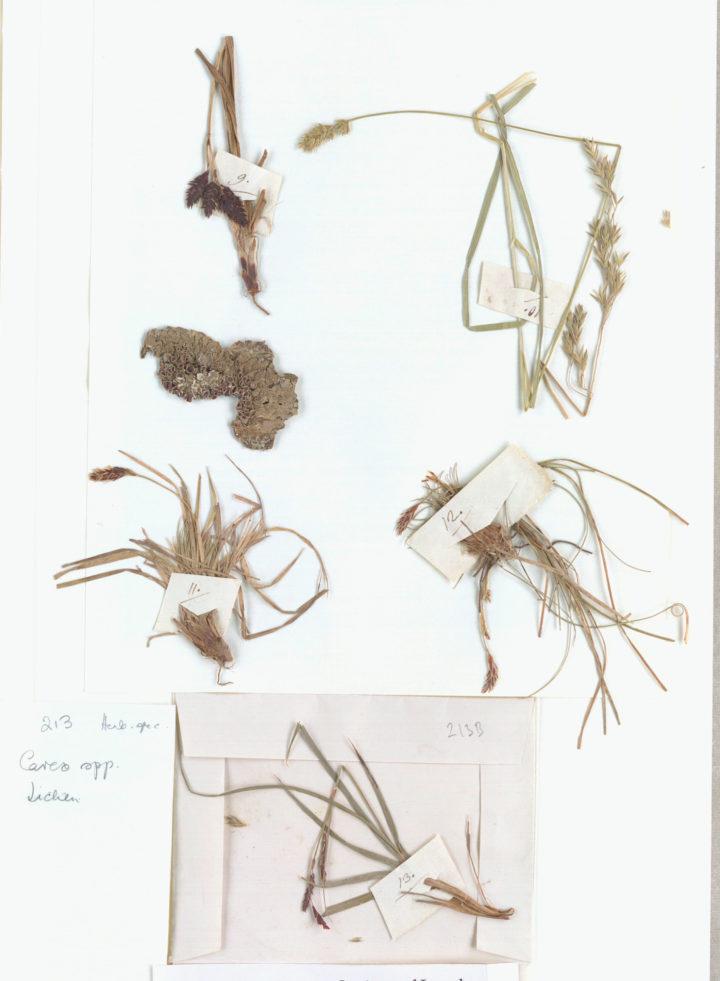 Plant specimens sent to Linnaeus from Jacquin