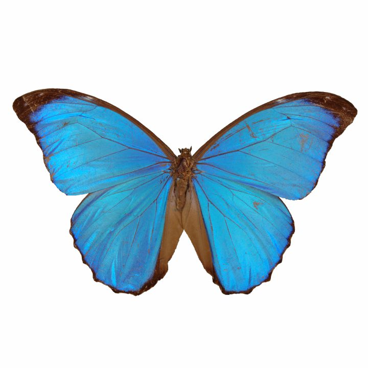 Papilio menelaus