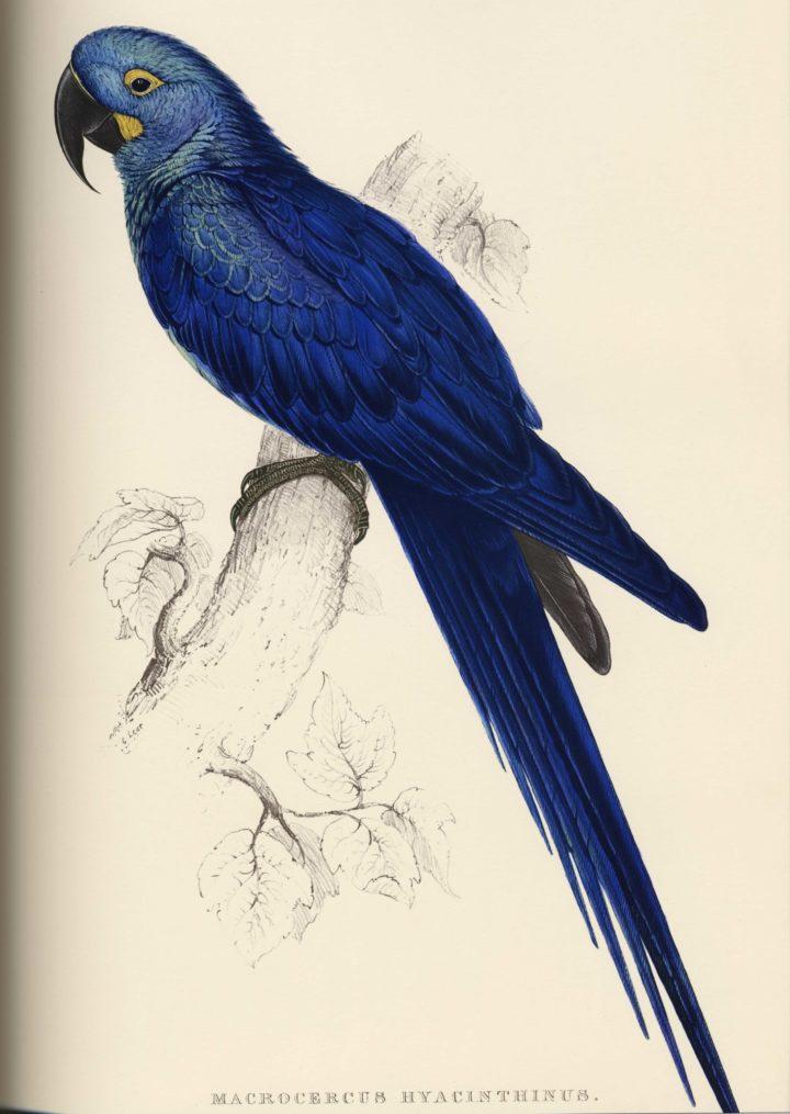 Lear Hyacinthine Macaw