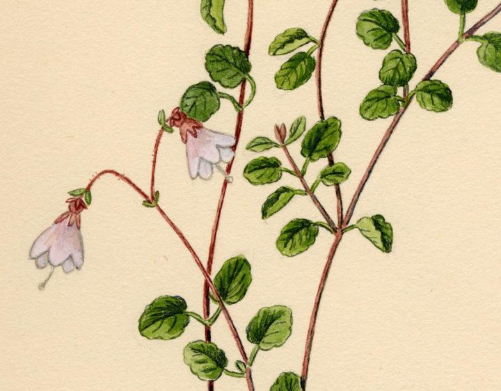 Drawing of Linnaea Borealis