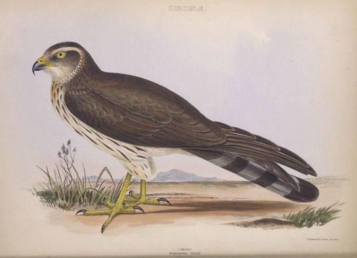 Megaspilus gould Genera of Birds G R Gray © BHL