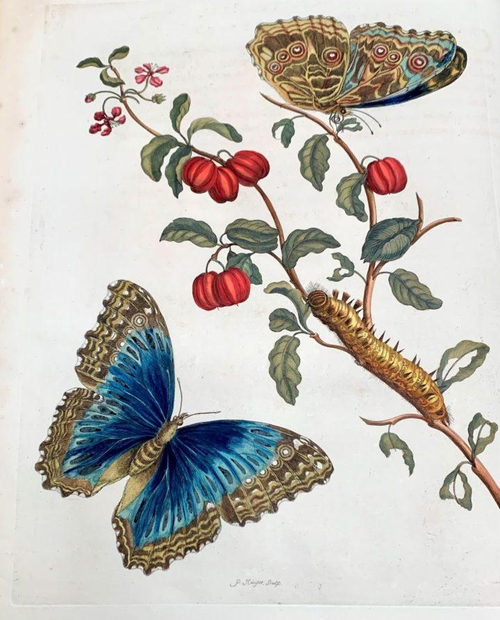 Merian, Papilio achilles