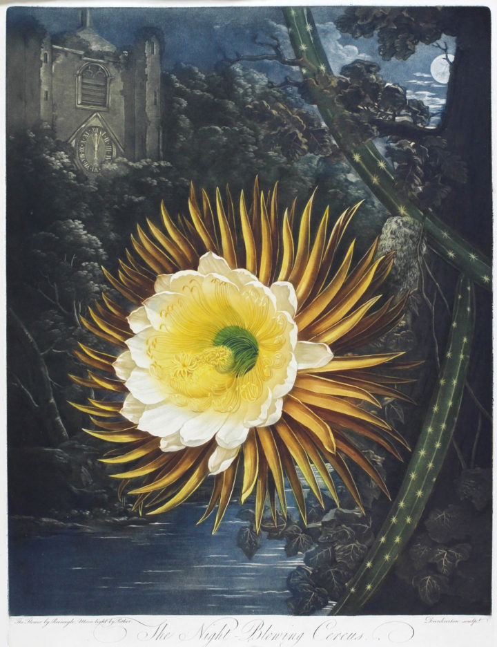 The 'night-blowing cereus' as depicted in Robert Thornton's Temple of Flora (1812).