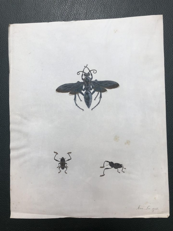 Ann Lee's drawings of insects on vellum (SPNH/6/1 – item 14)