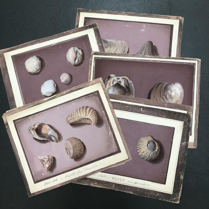 William Johnson's paintings of fossil shells in flint from Devonshire (SPNH/6/1– item 20) are one example of the many fossils presented to the Society