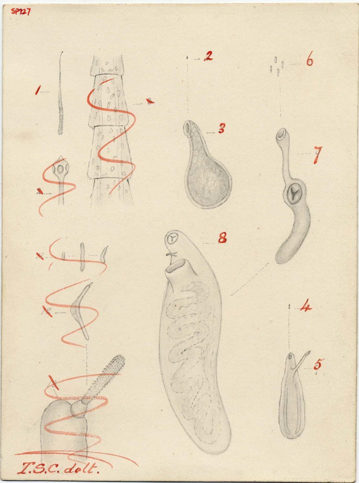 First page of drawings depicting the growth of Entozoa