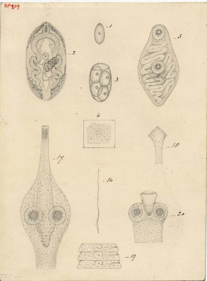 Some examples of some new forms of Entozoa