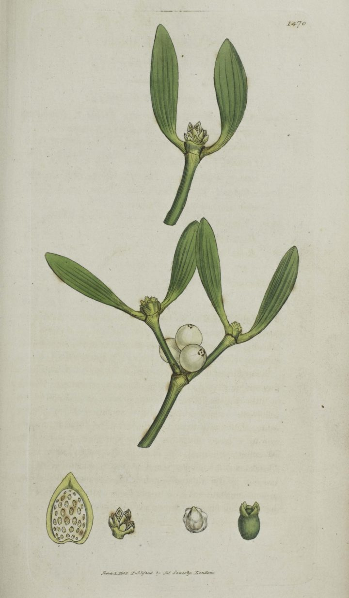 James Sowerby English Botany