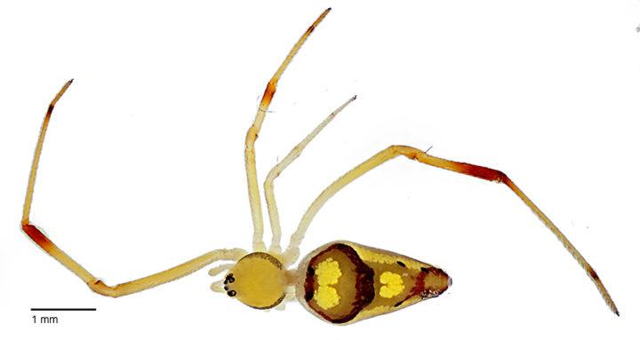 Spiranthus davidattenboroughi © Agnarsson Lab