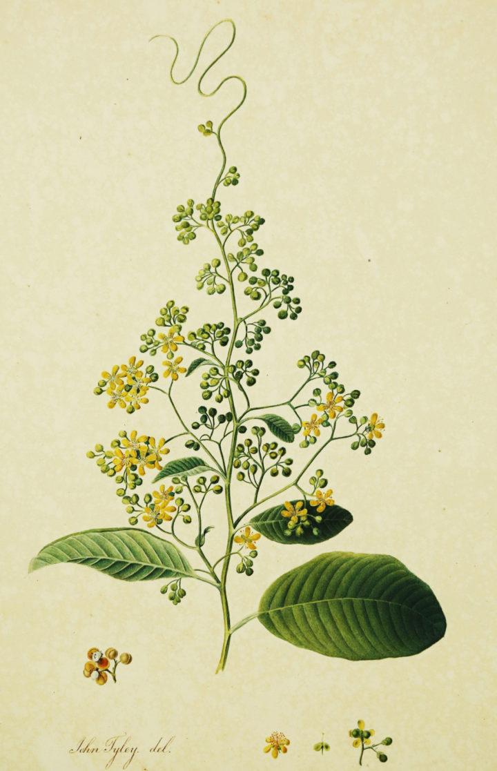 Calycarpa scandens