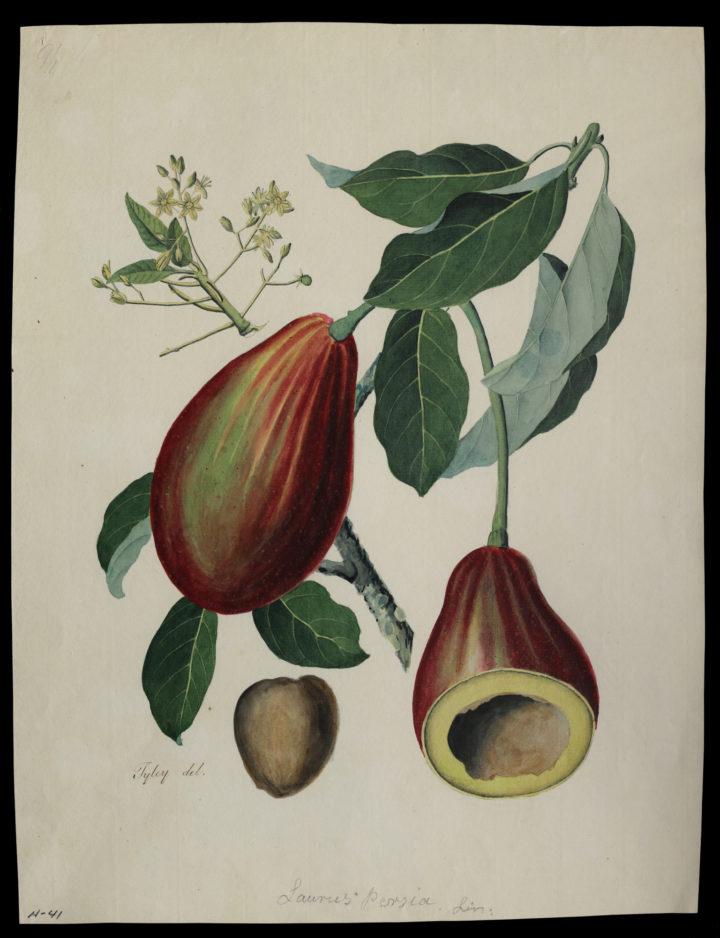John Tyley Avocado