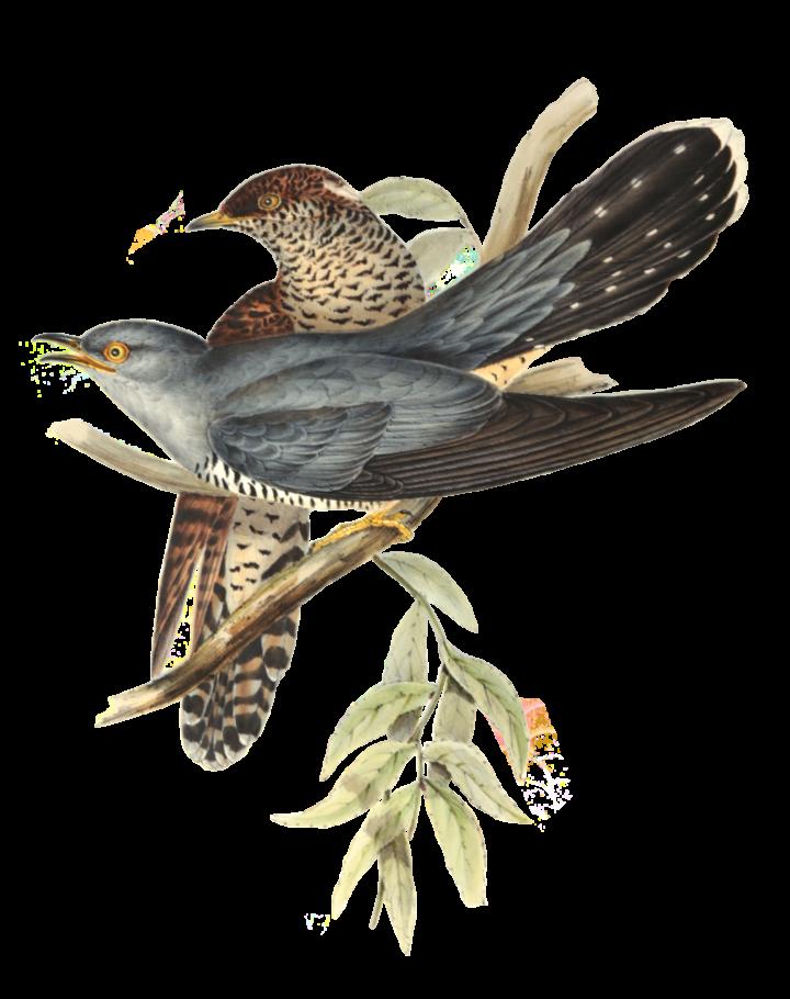 Cuckoo_John Gould