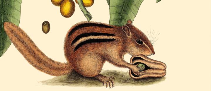 Chipmunk holding a nut