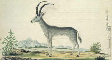 Secrets in a museum specimen: the case of the blue antelope