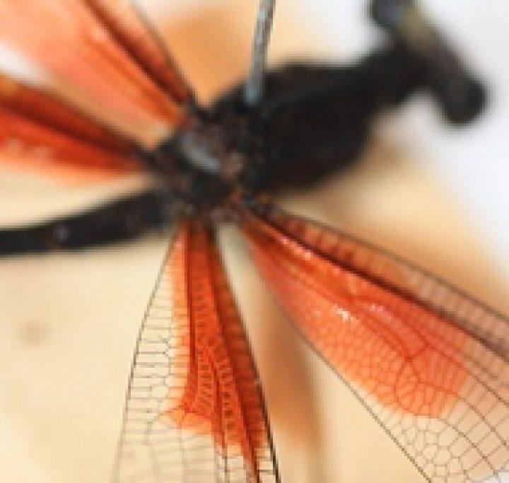 Dragonfly Linnaean Coll Type