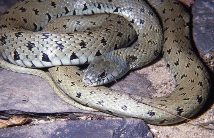 Iberian Grass Snake