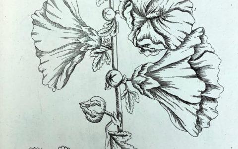 Elizabeth Blackwell's Curious Herbal