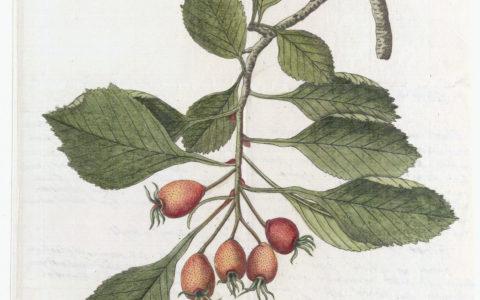 Nikolaus Joseph von Jacquin's letters to Linnaeus