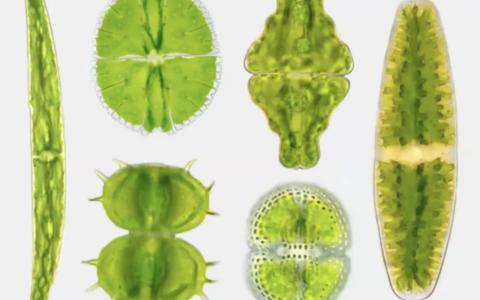 Desmid Algae: Jewels in the Bog