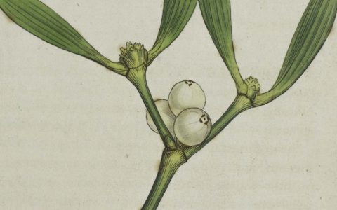 """""""As Obsolete as some Better Things"""": Mistletoe in our Collections"""