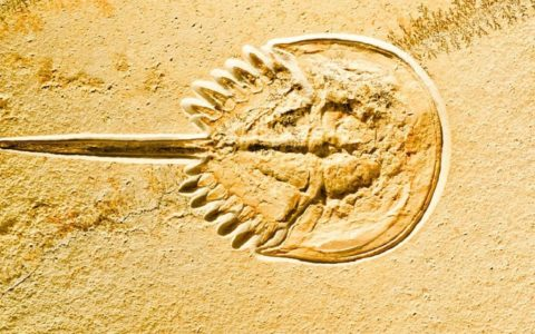 Were the ancestors of horseshoe crabs really blind?