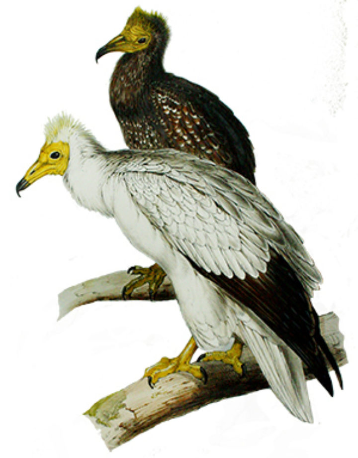 Vulture Awareness Day