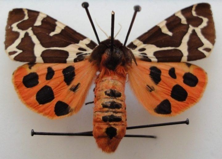 The tiger moth specimen