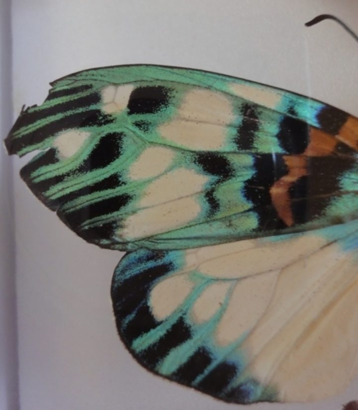 butterfly had a damaged wing