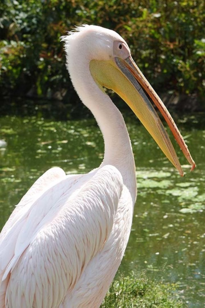 Pelicans (Pelicanus)